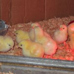 toad farm chicks